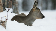 Roe deer in winter forest - stock footage