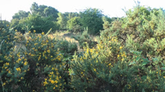 Gorse Bushes with Yellow Flowers - stock footage