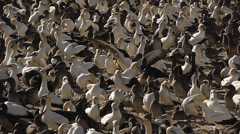 View on cape gannet colony with nestling  5 Stock Footage