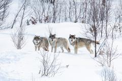 three wolves in the snow - stock photo