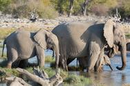Stock Photo of Elephants in Etosha