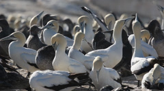Group of cape gannets 7, close up Stock Footage