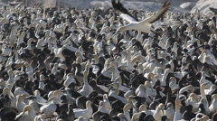 View on huge colony of cape gannets 8 Stock Footage