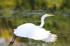 great egret flying - stock photo