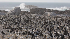 Gannet island 11 with seals colony Stock Footage