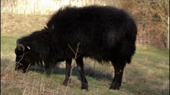 Hebridean sheep Stock Footage