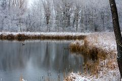 cattails in the winter. - stock photo