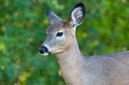 Stock Photo of close up portrait of female deer.