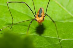 harvestman spider - stock photo