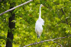 Great white egret perched in a tree. Stock Photos