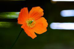 Eschscholzia californica unikko kukka pään Kuvituskuvat