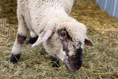 lamb looking curious. - stock photo