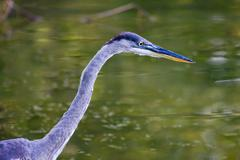great blue heron hunting. - stock photo