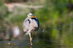 Great blue heron fishing Stock Photos