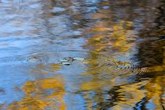 autumn leaves falling in the water - stock photo