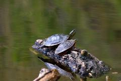 Painted turtle on a floating log Stock Photos