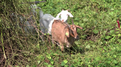 Goats walking in a line Stock Footage