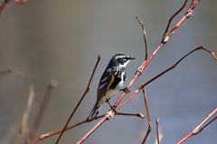 yellow-rumped warbler - stock photo