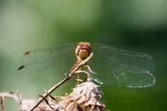 wandering glider dragonfly - stock photo