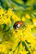 asian ladybug beetle (harmonia axyridis) - stock photo