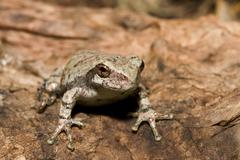 cope's gray tree frog - stock photo
