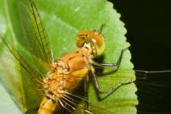 Yhteinen darter sudenkorento Kuvituskuvat