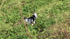 Goat one walking on a path Stock Footage