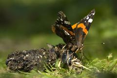 red admiral butterfly, vanessa atalanta - stock photo