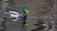 mallard ducks (anas platyrhynchos) relaxing in pond - stock photo