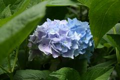 Beautiful floral hydrangea  in blue colors in hdr Stock Photos