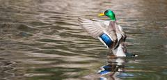 Mallard ducks (anas platyrhynchos) flapping wings in pond Stock Photos