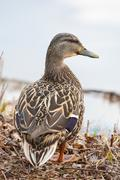 mallard standing at the waters edge - stock photo