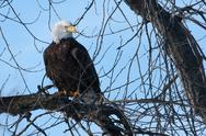 Stock Photo of american bald eagle