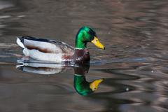 Mallard ducks (anas platyrhynchos) relaxing in pond Stock Photos