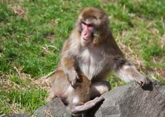 macaque monkey playing - stock photo