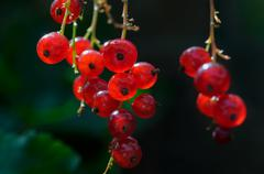 Red Currant fruit on the shrub close up - stock photo