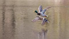 mallards in flight in soft focus - stock photo