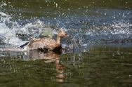 Stock Photo of female wood duck (aix sponsa) landing