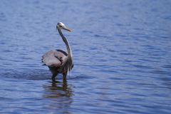 great blue heron fishing - stock photo