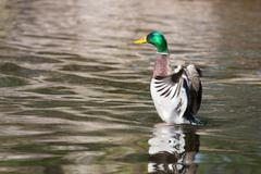 Mallard ducks (anas platyrhynchos) flapping wings in pond Stock Photos