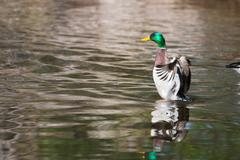 Mallard ducks (anas platyrhynchos) flapping wings in pond in soft focus Stock Photos