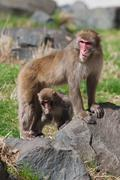 mother and baby macaque (snow) monkey's - stock photo