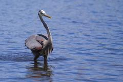 great blue heron fishing - stock photo