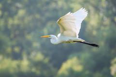 Great white egret flying Stock Photos