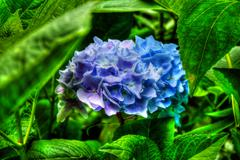 beautiful floral hydrangea  in blue colors in hdr - stock photo