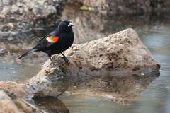 Male red-winged blackbird in the marsh Stock Photos