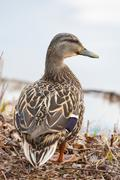 mallard standing at the waters edge in soft focus - stock photo
