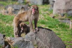 Mother and baby macaque (snow) monkey's Stock Photos