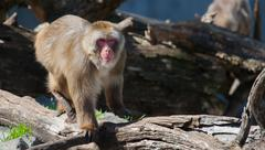 macaque (snow) monkey's in soft focus - stock photo