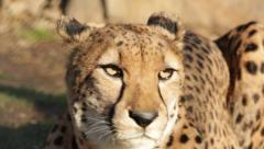 Cheetah close up - stock footage